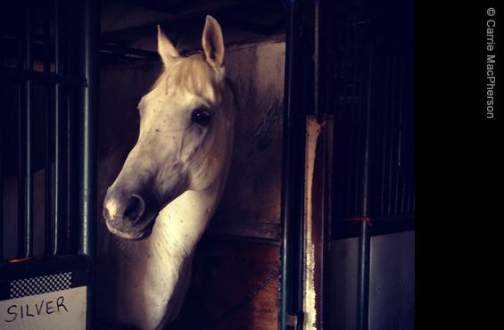 Horse Calgary Stampede Silver